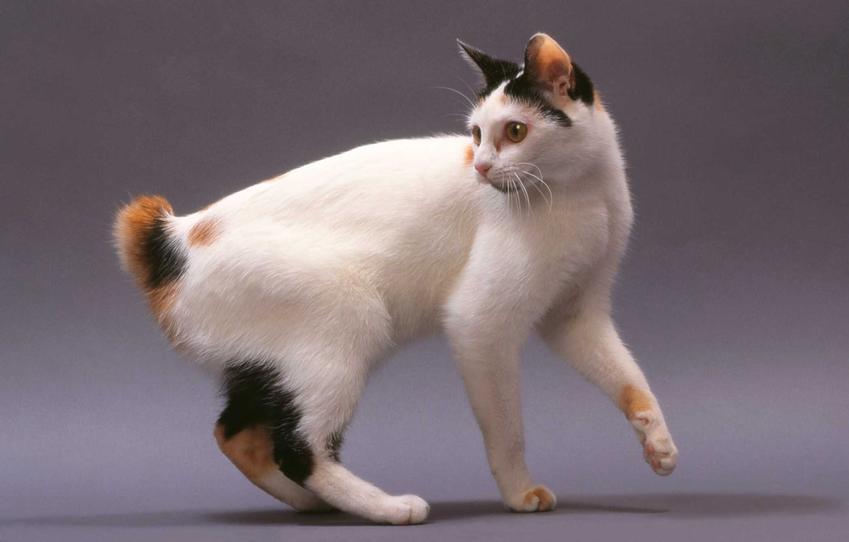 Kot japoński bobtail o biało-rudej sierści i krótkim ogonie, a także informacje o pielęgnacji i charakter