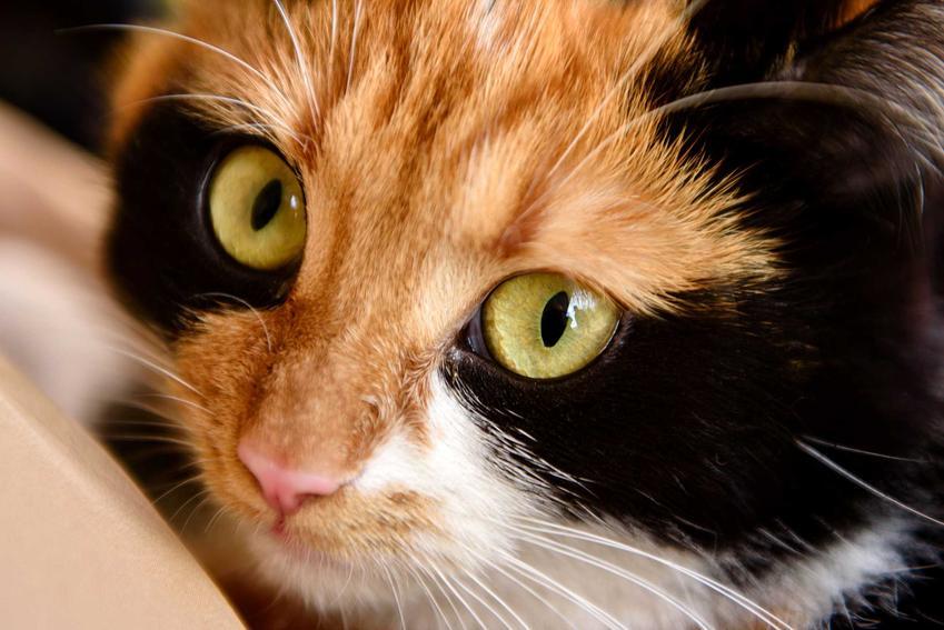 Kot japoński bobtail, jego pyszczek o rudo-czarnej sierści oraz pielęgnacja, charakter i usposobienie