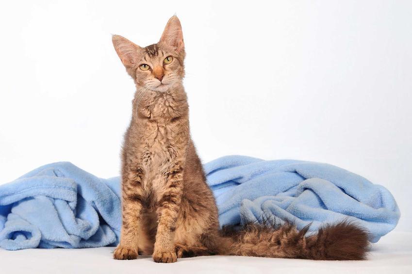 Kot LaPerm o bujnym ogonie i szarej sierści oraz informacje o pielęgnacji i opis charakteru
