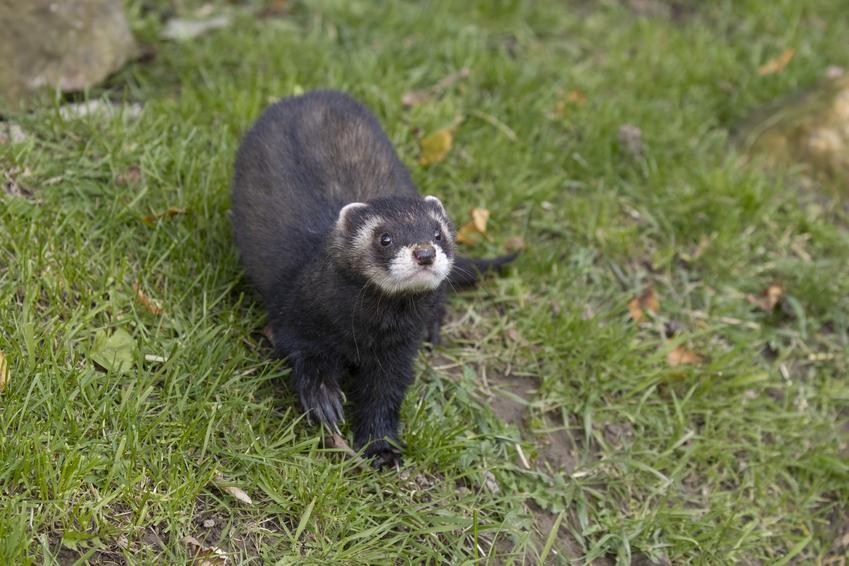 Tchórzoretka na trawie oraz jak wygląda fretka domowa i czy to jest to samo zwierzę