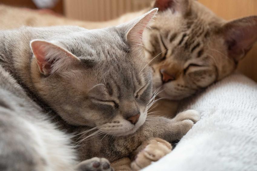 Małe koty australisjki mist a także pielęgnacja, usposobienie oraz wymagania