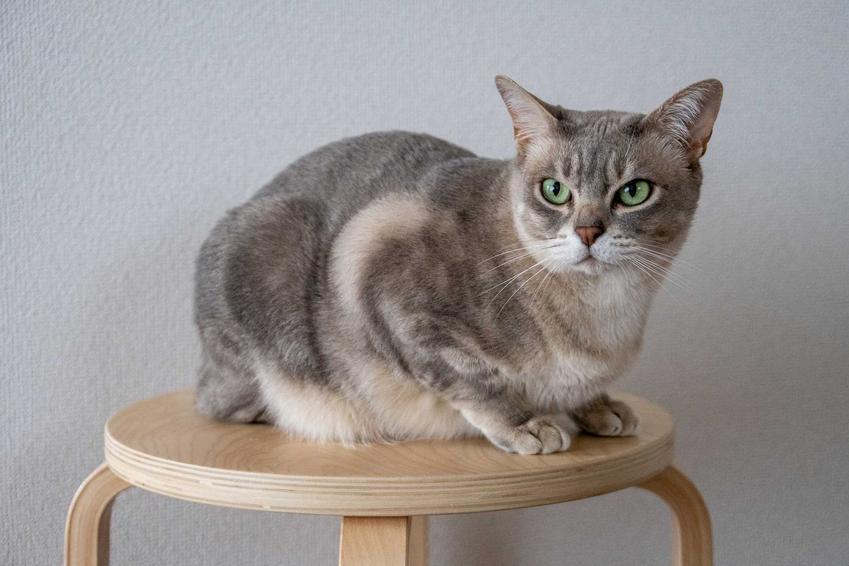 Kot australijski mist siedzący na stołku o szarej sierści w prążek a także informacje o pielęgnacji