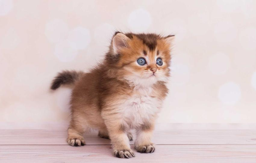 Mały kot Highland straight o brązowej sierści, a także informacje: opis, cena za kocięta i wygląd