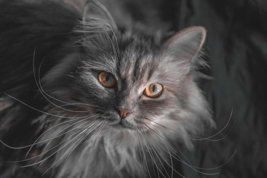 Kot Highland Straight o ciemnoszarej sierści i wyjatkowych uszach a także informacje: wygląd, opis, usposobienie