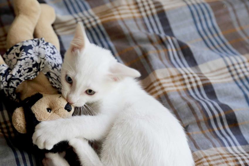 Kocię Khao Manee z misiem leżące na łóżku oraz inforacje: wymagania, usposobienie i pielęgnacja