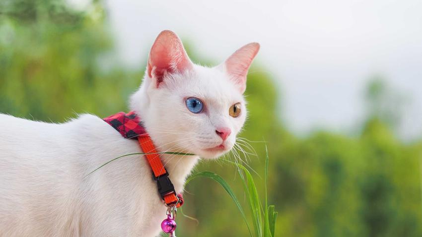 Kot Khao Manee o jednym oku niebieskim drugim złotym i białej sierści, a także wymagania, pielęgnacja i cena