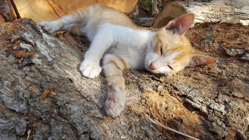 Kot jawajski śpiący na pniu, a także jej charakterystyka, usposobienie, pielęgnacja i opieka
