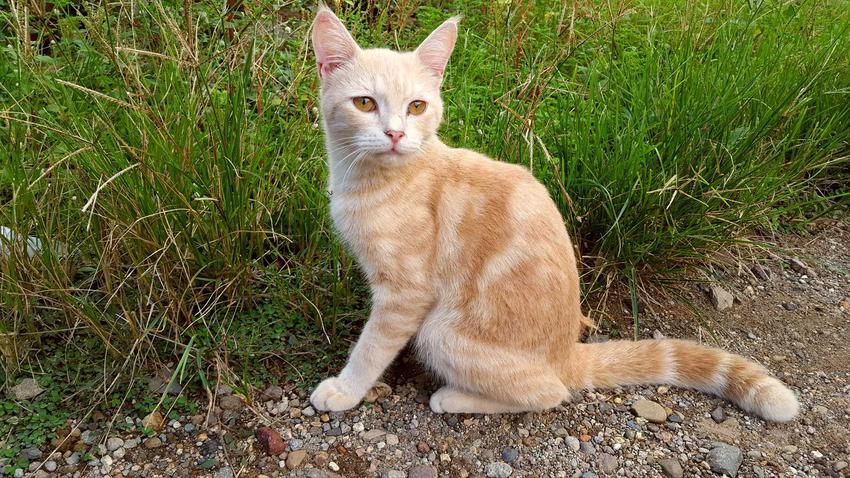 Kot jawajski stojący na trawie oraz informacje: charakterystyka, opis wyglądu i uspsobienie