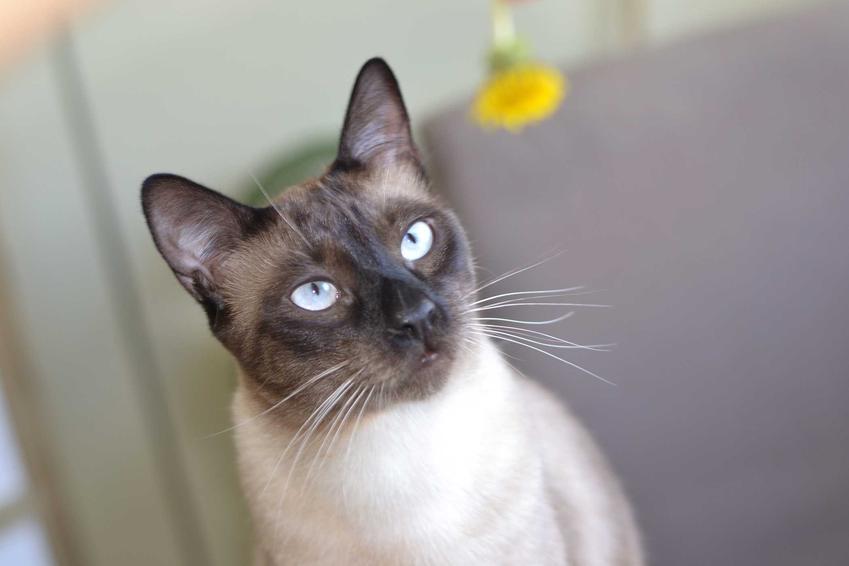 Bialy kot tonkijski siedzący na ziemi oraz informacje: pielęgnacja, żywienie, wygląd