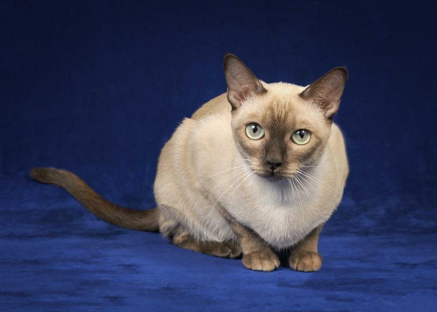 Kot tonkijski o białej sierści i ciemnym pyszczku leżący na ziemi, a także opis, charakter i pielęgnacja