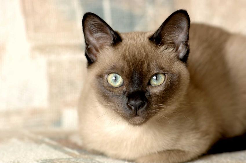 Kot tonkijski o białym futrze i ciemnym pyszczku oraz informacje: wygląd, opinie oraz charakter