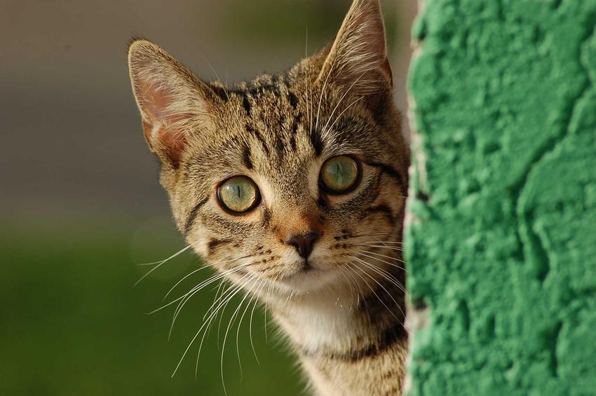 Kot dachowiec na podwórku - jaka jest długość życia dachowców na podwórku
