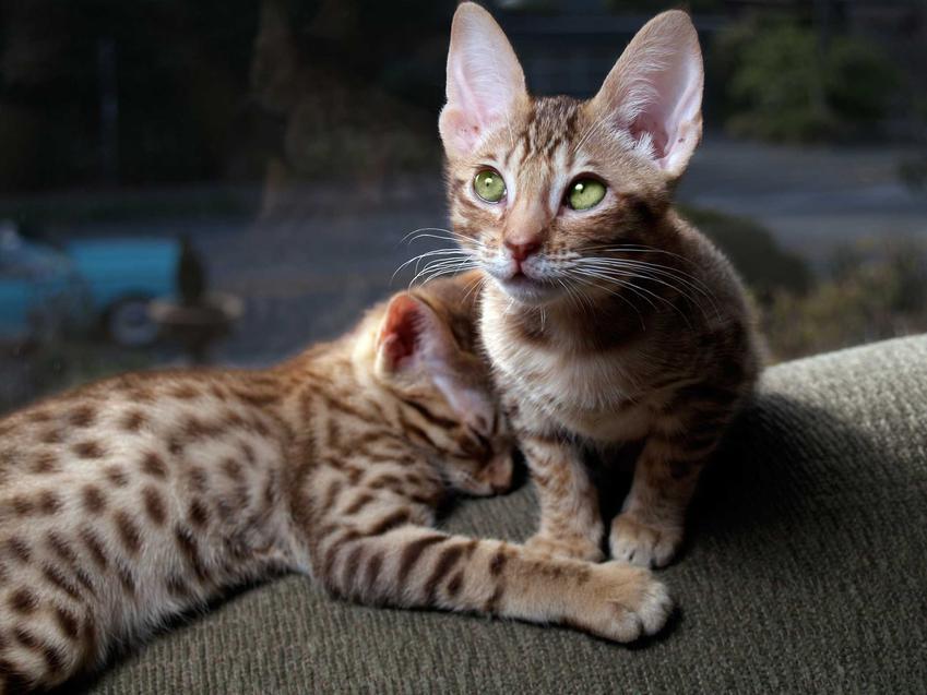 Kocięta rasy ocicat, a także opis, pielęgnacja oraz wymagania, a także cena za kocięta