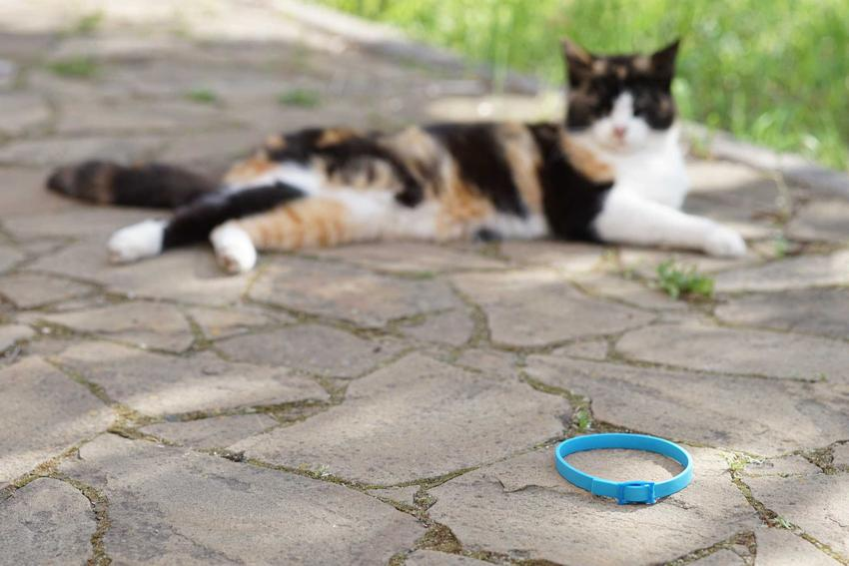 Obroża Foresto dla kota na chodniku koło kota o barwnej sierści, a także zastosowanie i rodzaje obroży