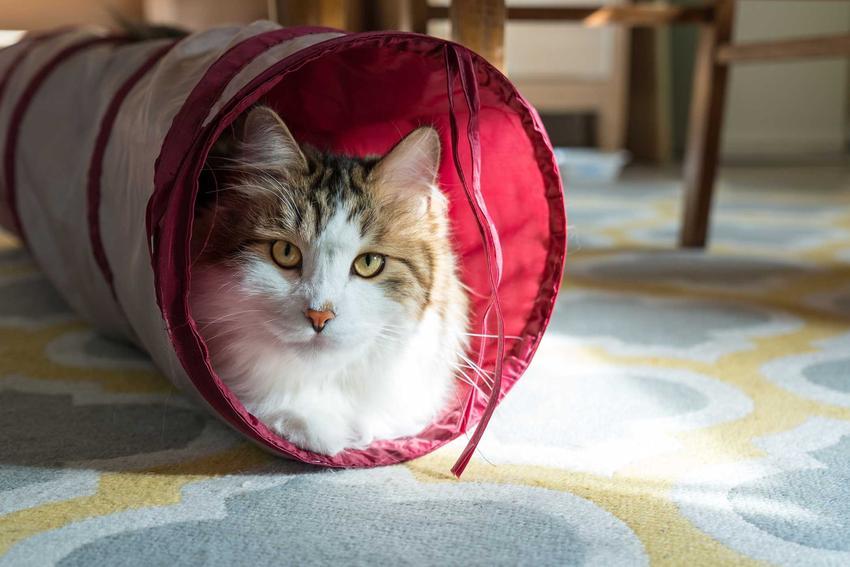 Kot o biało-brązowej sierści w tunelu dla kota oraz opinie o najlepszych tunelach