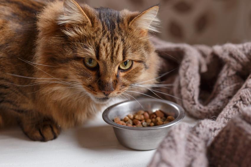 Kot przy misce z karmą, a także karma Bosch dla psa i dla kota, jej opis, cena i skład