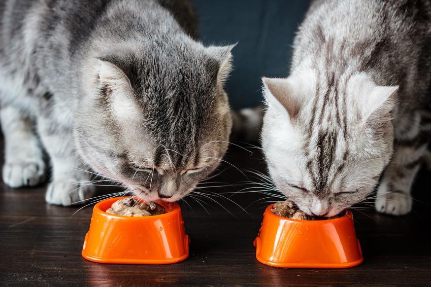 Dwa koty jedzące z misek, a także karma Gourmet, jej rodzaje, puszki, cena i porady