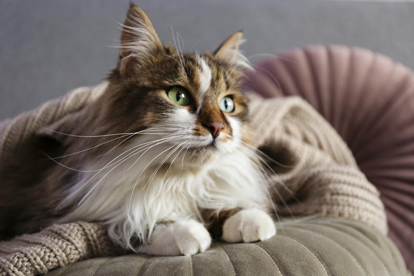 Kot syberyjski siedzący na łóżku, a także hodowla i cena kota syberyjskiego z rodowodem lub bez