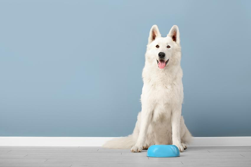 Pies przy misce z karmą, a także karma dla psa Purina krok po kroku, jej skład i cena