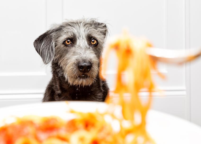 Pies patrzący na makaron, a także makaron dla psa, błyskawiczny i bez gotowania