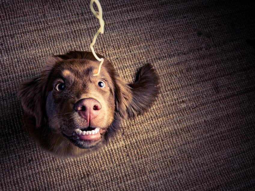 Pies patrzący na makaron spaghetti, a także makaron dla psa, rodzaje i cena