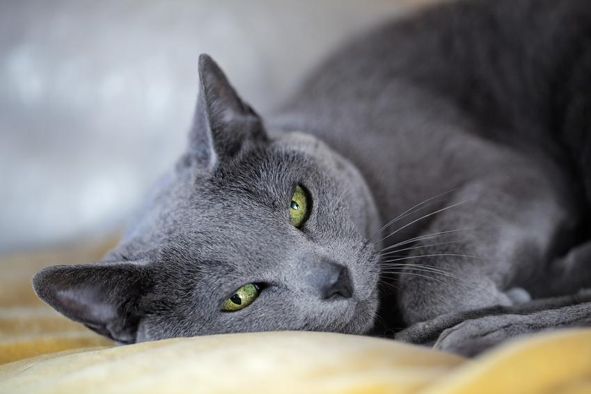 Kot rosyjski niebieski leżący na łóżku, a także jego charakter i opis rasy