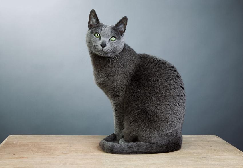 Kot rosyjski niebieski siedzący na stole oraz kot błękitny i jego charakter