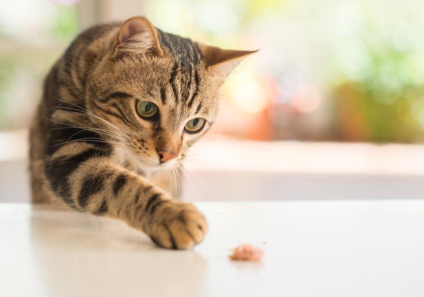 Kot jedzący karmę na stole oraz karma dla psa i dla kota Empire, jej rodzaje i skład