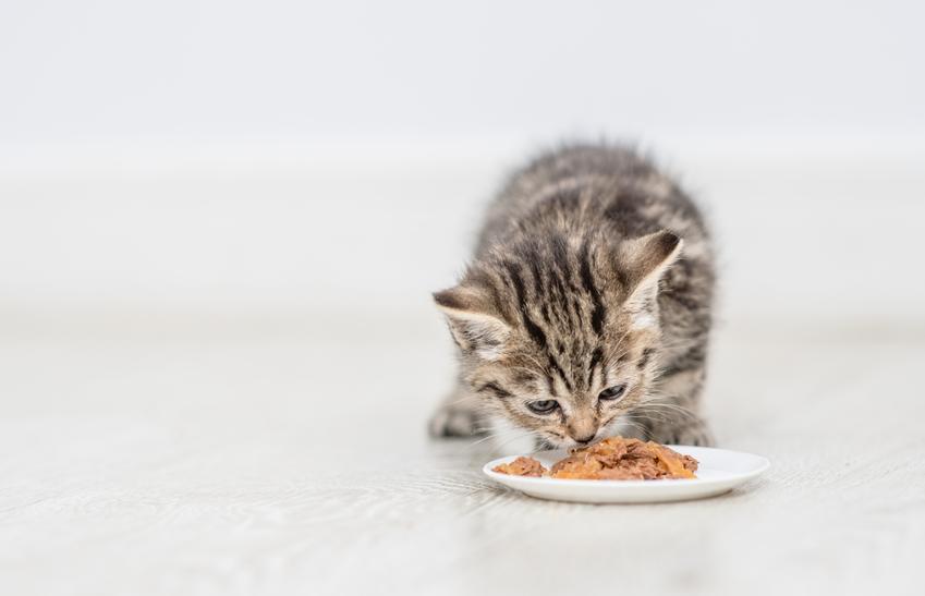 Kot jedzący karmę z miski oraz karma dla kota Orijen, jej rodzaje, cena i skład