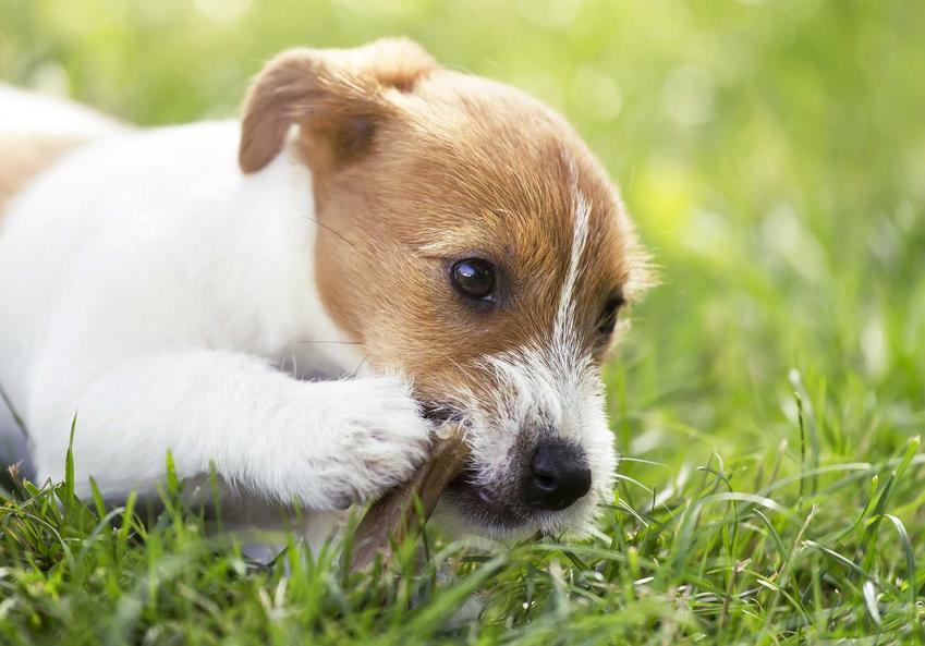 Pies gryzący Dentastix, a także informacje o skuteczności gryzaka, ich rodzajów, cenach oraz zastosowanie