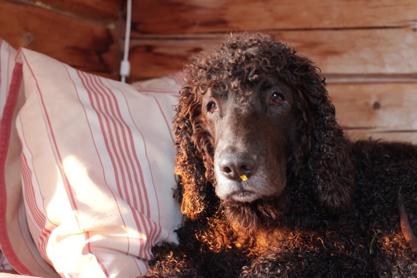 Irlandzki spaniel dowodny leżący na łóżku, a także jego hodowla, charakter i cena