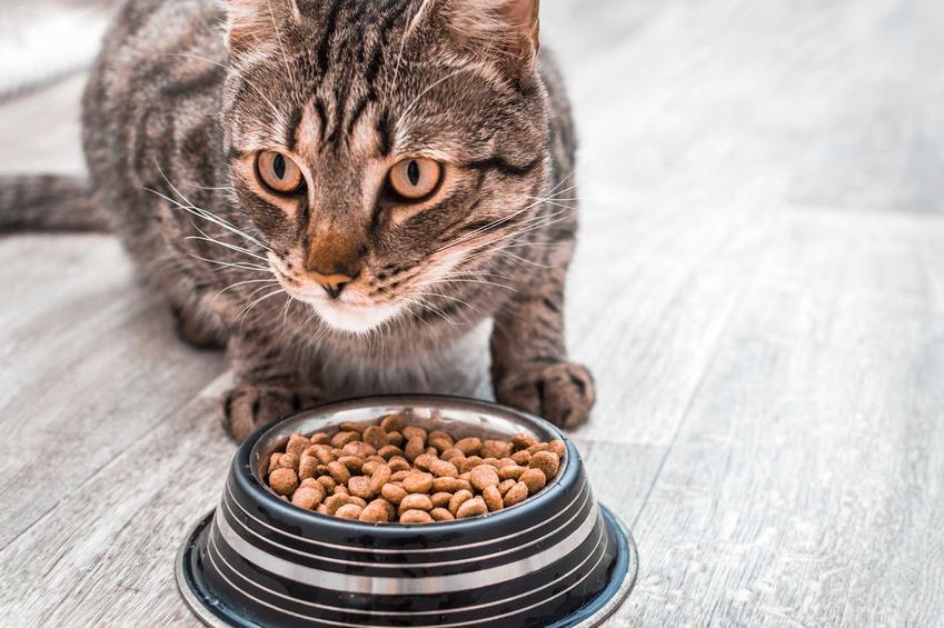 Karma Purina Friskies w miseczce i dorosły kot, a także składniki odżywcze, skład, rodzaje i ceny