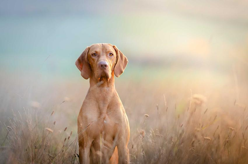 Pies rasy wyżeł portugalski na kolorowym tle o beżowej, biszkoptowej sierści, a także wymagania, charakter i wygląd psa