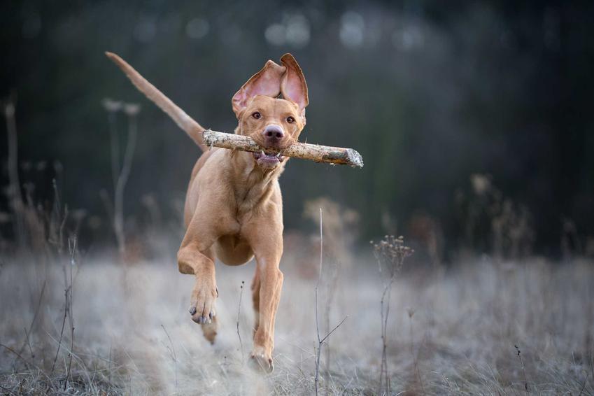 Pies rasy wyżeł portugalski łapiący patyk, a także osobowość, charakter i wymagania rasy