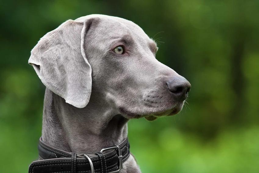 Pies wyżeł niebieski z bliska na tle zieleni, a także informacje o pielęgnacji, zdjecia, opis wyglądu i pochodzenie
