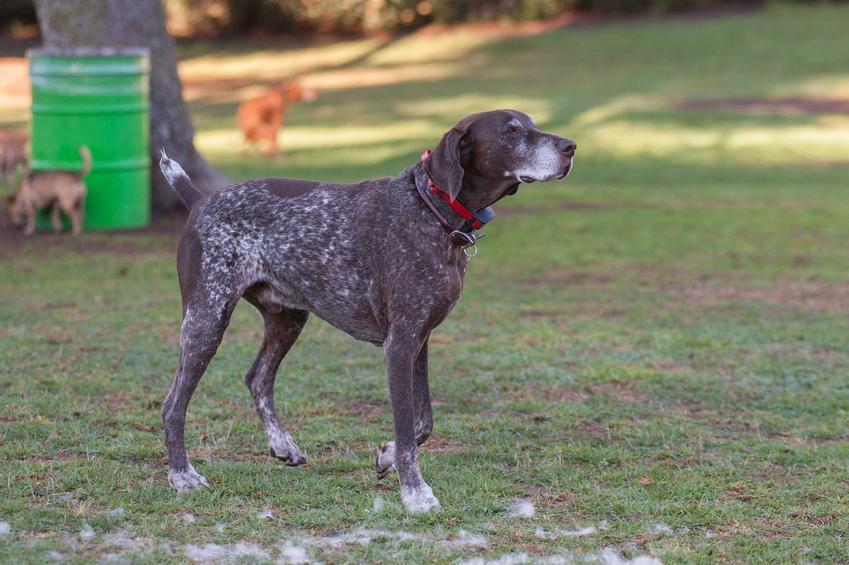 Pies wyżeł pirenejski na ziemi w parku, a także pielęgnacja, wymagania oraz informacje o rasie