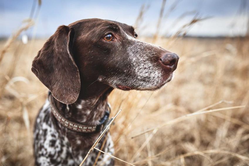 Pies wyżeł pirenejski o brązowej sierści i wyraźnych kropkach w zbożu, a także informacje, charakter i wymagania