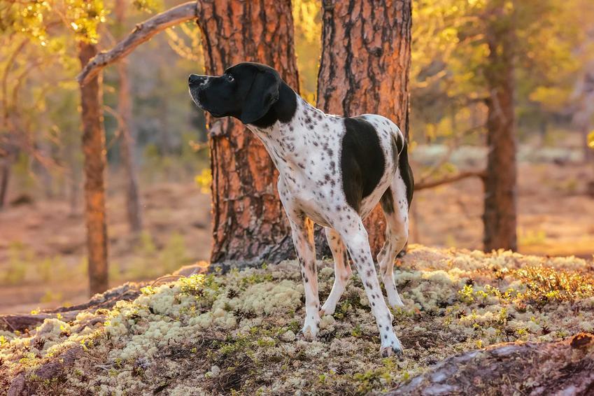 Pies wyżeł z Owernii o biało-brązowej sierści przy drzewie, a także wygląd oraz charakter typowy dla rasy