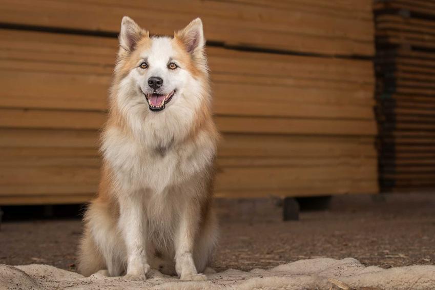 Islandzki szpic pasterski siedzący przed drewnianą ścianą, a także pielęgnacja, opis wyglądu i charakteru psa