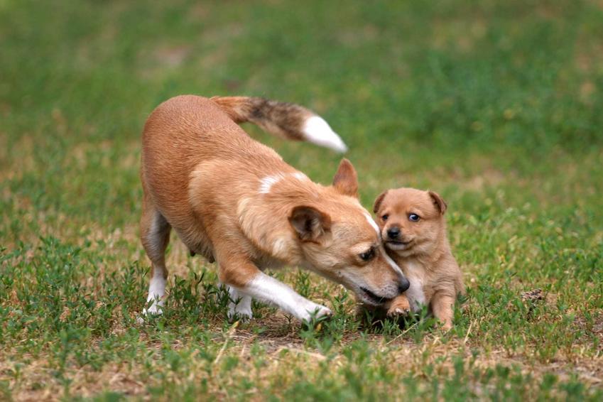 Podengo portugalski dorosły ze szczeniaczkiem, a także pielęgnacja, porady i usposobienie psa