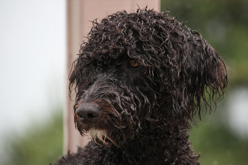 Portugalski pies dowodny na zielonym tle, a także jego hodowla oraz cena za szczeniaki
