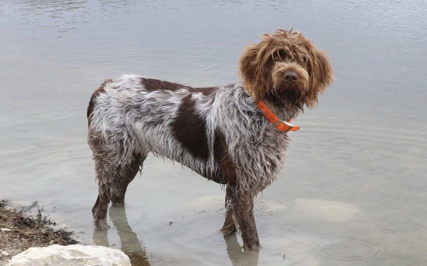Gryfon Korthalsa z brązowymi włosami na głowie stojący w wodzie, a także pielęgnacja, charakter, usposobienie, pochodzenie oraz pielęgnacja