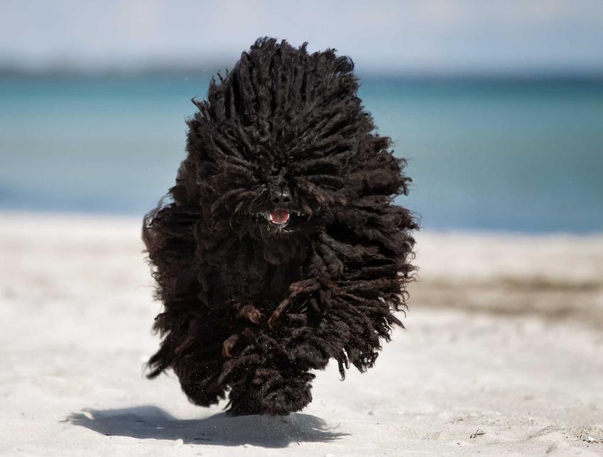 Pies Puli (owczarek węgierski) o czarnej sierści biegnący po trawie, a także pielęgnacja sierści, informacje, zastosowanie i wychowanie
