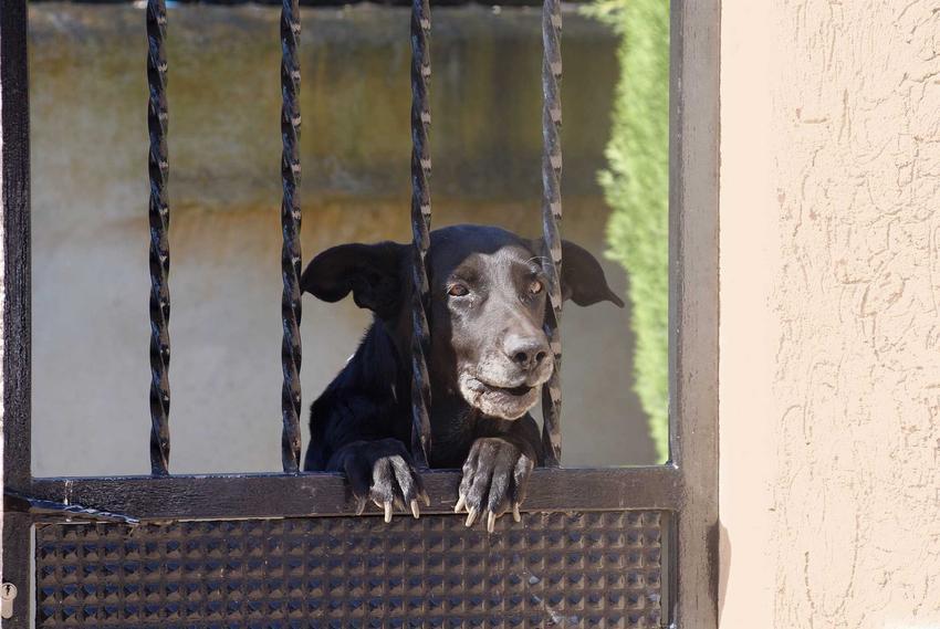 Pies z Majorki o czarnym umaszczeniu za bramą, a także pochodzenie, informacje, porady, pielęgnacja i dokładny opis