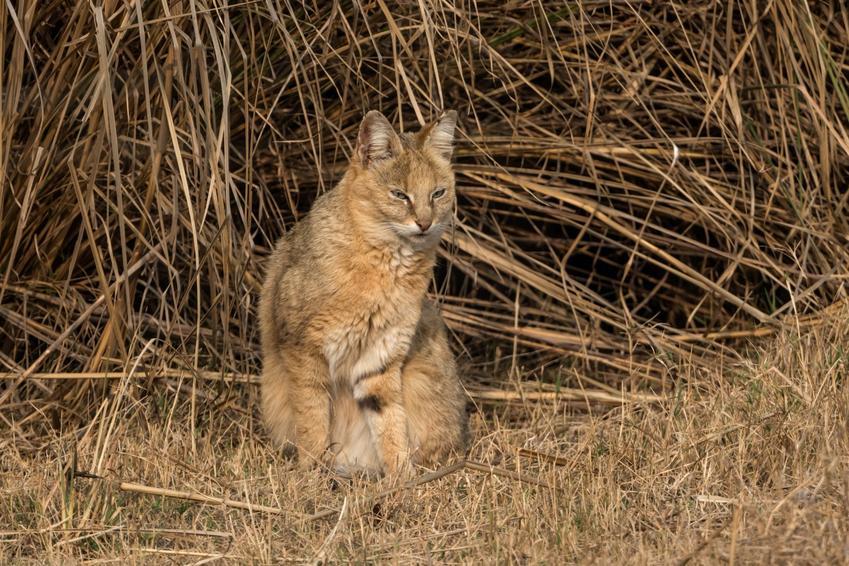Kot bagienny lub kot błotny na łonie natury, a także jego usposobienie, wychowanie i hodowla