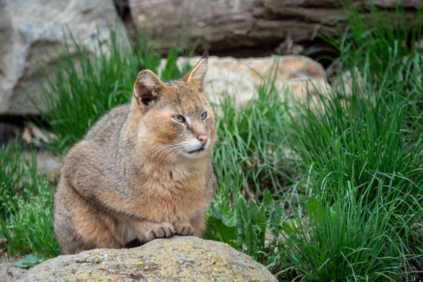 Kot rasy kot błotny lub babienny na podwórku, a także jego charakter, hodowla i cena