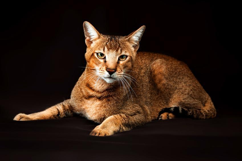 Kot rasy chausie na czarnym tle, a także informacje, charakter, hodowla i cena