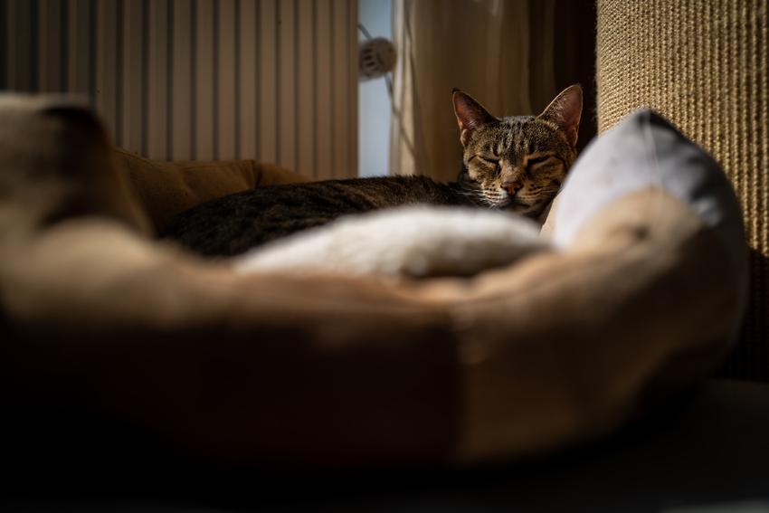 Kot Ashera na kanapie w salonie, a także informacje o rasie, usposobienie i hodowla