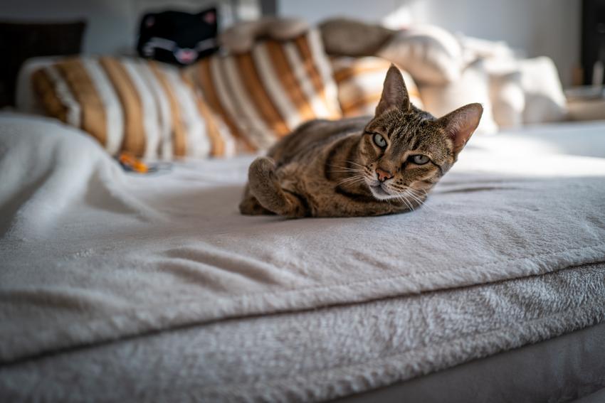 Kot Ashera leżący na łóżku, a także szacowana cena kota ashera, charakter i hodowla