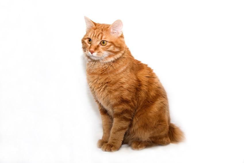 Kot kurylski bobtail na białym tle, a także informacje, charakter, hodowla i cena